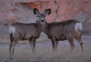Deer, Badlands