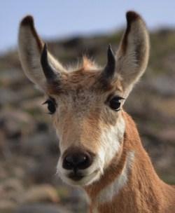 Prong Horned Deer