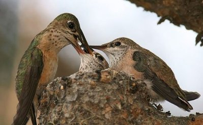 A female Calliope Hummingbird feeding her chicks.
