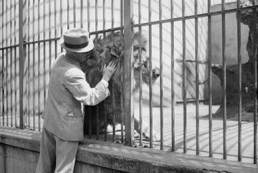 A man pats a lion through cage bars at Melbourne Zoo in 1938.