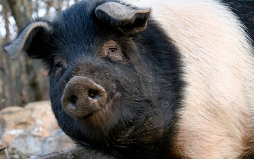 Cinta Senese is a breed of domestic pig from Siena.