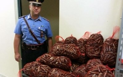 Until 1988, dynamite was used to harvest them by the millions.