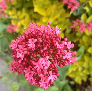 red/pink flowers