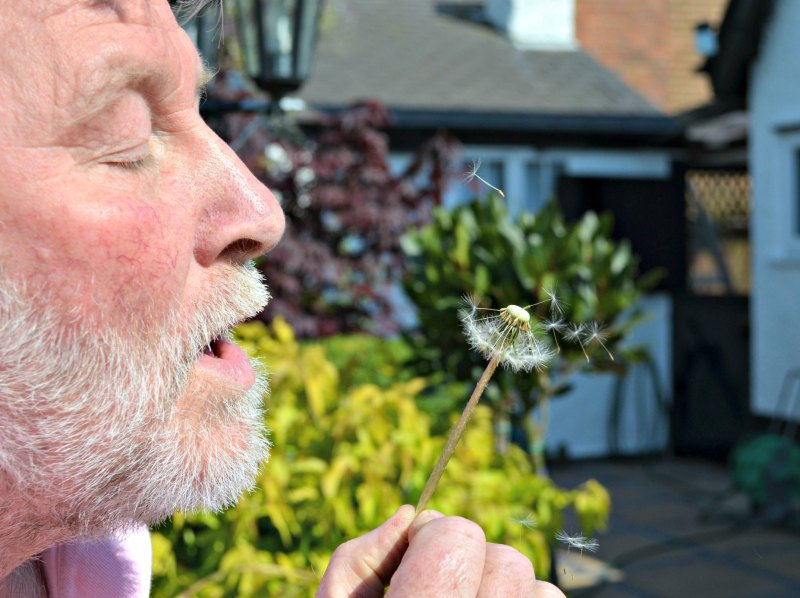 Blowing a dandelion seed head