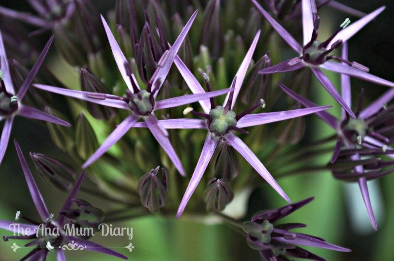 Allium Summer
