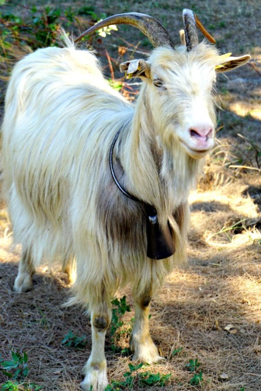 MW goat