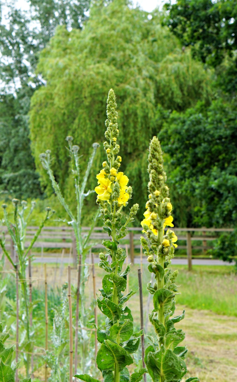 Weleda - spire like yellow flowers at the the field herb garden