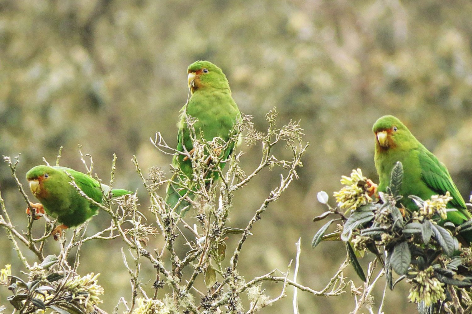 Rufous-fronted Parakeet_Bolblorhynchus ferrugenifrons