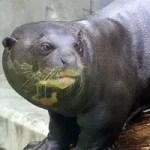 Giant otter