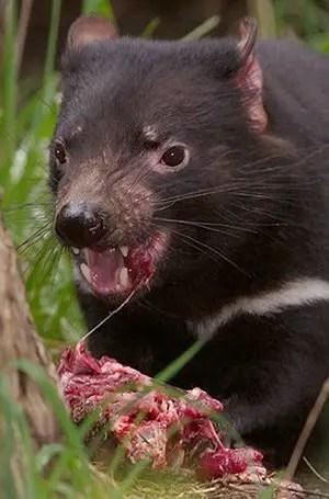 Tasmanian devil the animal facts - Tasmanian devil pics ...