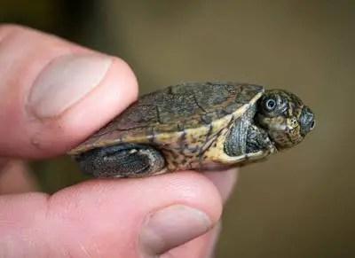 Madagascan turtles