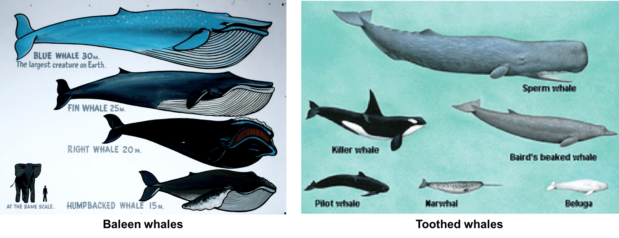 Whale Echolocation Facts