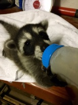 baby raccoon with bottle