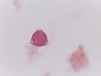 Rubus ordoratus–Purple-Flowering Raspberry