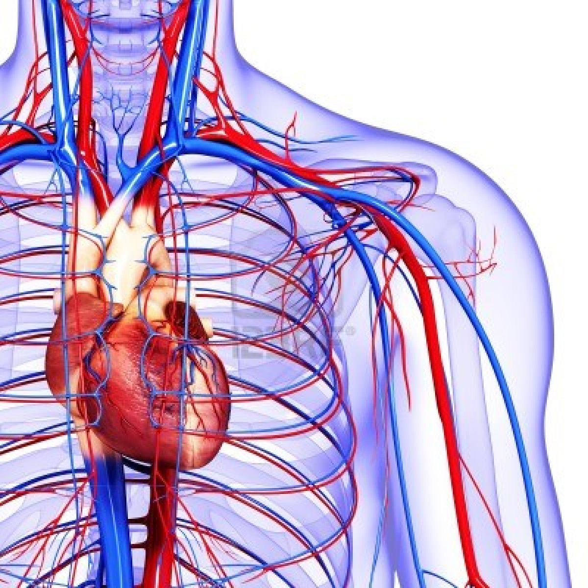 The Circulatory System The Continuous Cycle Of Blood