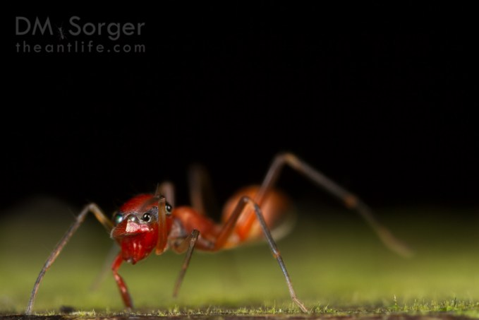 Jumping spider (Salticidae, Camponotus (Colobopsis) mimic) shielding eyes from my flash -- Mulu NP, Sarawak, Borneo