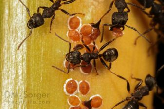 Carpenter Ants (Camponotus) living in Rattan Plant with scale insects (Coccoidea) -- Mulu NP, Sarawak, Borneo