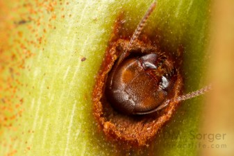 Diving Ant (Camponotus schmitzi) plugging nest entrance in pitcher plant (Nepenthes bicalcarata) -- Mulu NP, Sarawak Borneo