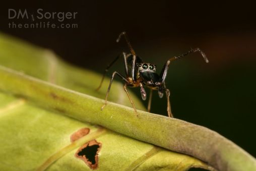 Ant-mimicking jumping spider (Myrmarachne adult male) -- Danum Valley, Sabah, Borneo
