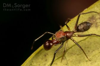 Ant-mimicking jumping spider (Myrmarachne adult male) -- Poring Hot Springs, Sabah, Borneo