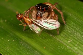 Jumping Spider (Pancorius) with male ant prey -- Manuakan Island, Sabah, Borneo