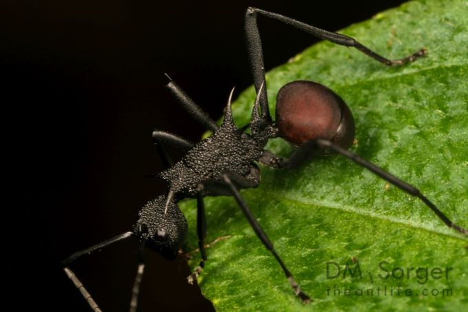 Spider Ant (Polyrhachis armata) -- Manuakan Island, Sabah, Borneo