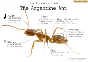 How to recognize: The Argentine Ant