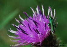 Thick-legged flower beetle on knapweed