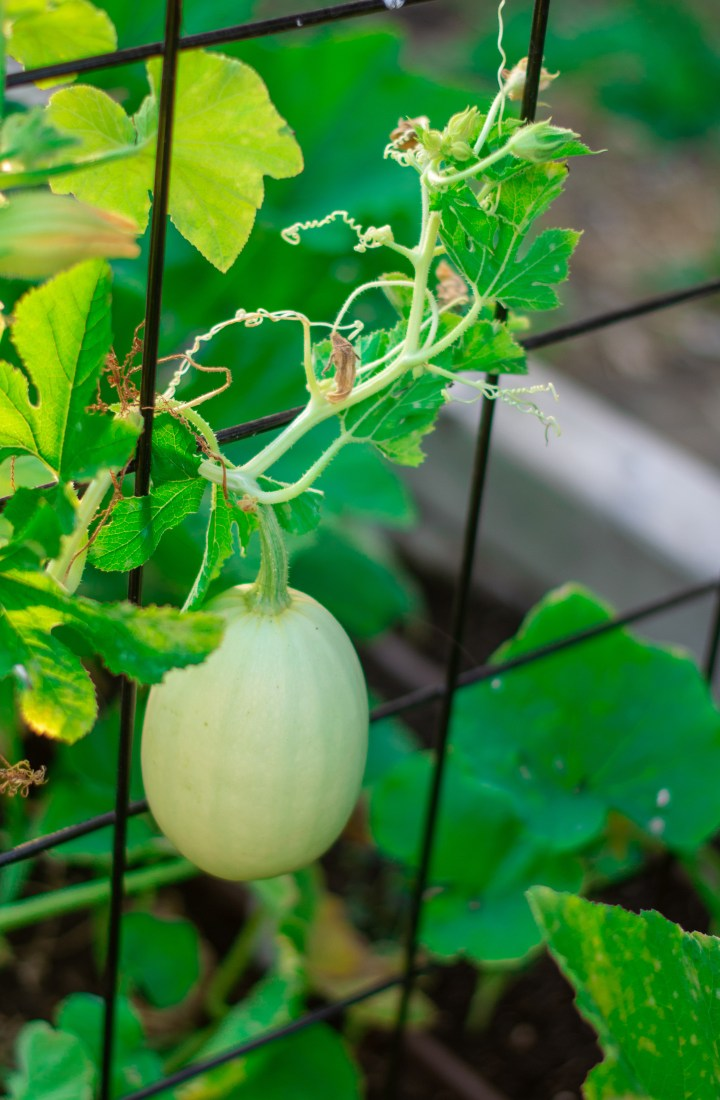 Spaghetti squash growing on vine