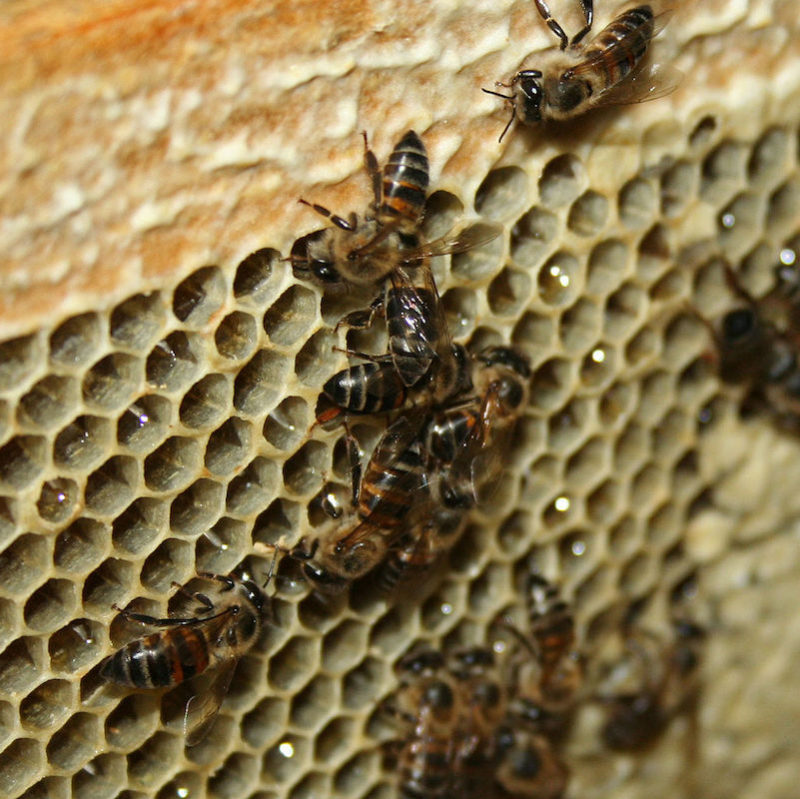 Cape honey bees