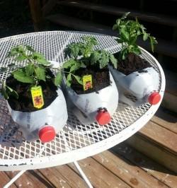 Tomatoes_in_MilkJugs
