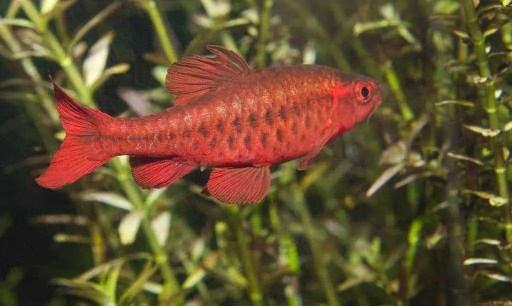 most popular freshwater fish for a 10 gallon tank the aquarium adviser