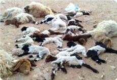 palestinian-sheep-poisoned