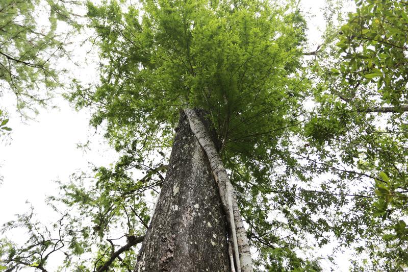 Big Cypress trees