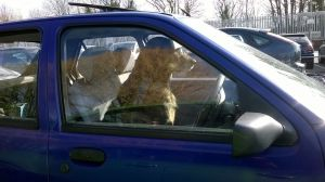 dog_drives_car_13889342521