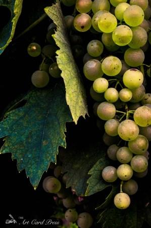 Grapes 10