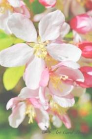 Blossom trees 14-001