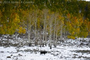 Autumn Cow, Colorado, October 2013. Nikon D800, AF-S VR Zoom-Nikkor 70-200mm f/2.8G IF-ED, 1/90 sec, f/8, ISO 100, 82mm. Copyright 2013 by James A. Covello.