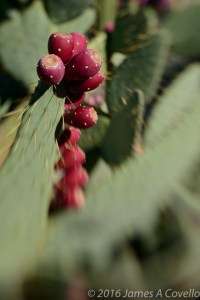 Ripening Prickly Pear, Tucson, Arizona. Nikon D800 with Lensbaby Sweet 50, ISO 100, 1/1000 sec, approx. f/5.6.