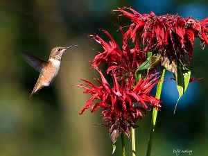 Hummingbird by Kelly Cushing