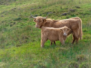 Highland Cows by Carsten Arnold