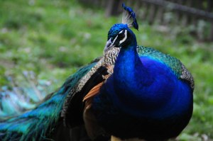 """Peacocks are one of the most easily identifiable birds with their bright and flamboyant plumage. Protecting all species, even the small, less colorful ones are just as important as protecting the """"pretty"""" ones we love!"""