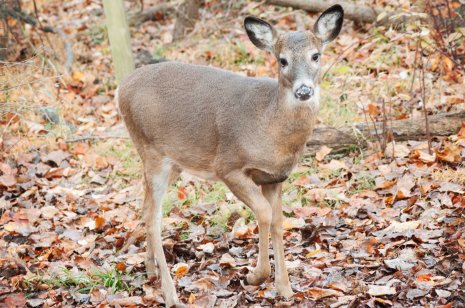 Deer will make huffing sounds and stomp their feet when they want to look intimidating and scare something away. More often than not, they will turn their tails up and leap away!