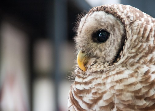 Barred Owls are general predators that eat more than just rodents. They will also eat lizards, frogs, snakes, and salamanders!