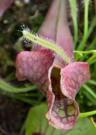 Compare the two seemingly dissimilar plants. The Sundew has tiny hairs, as does the pitcher plant!