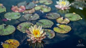 Lotus (Pink Green Water)