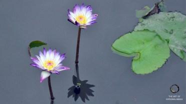 Lotus (Pink Two Water)