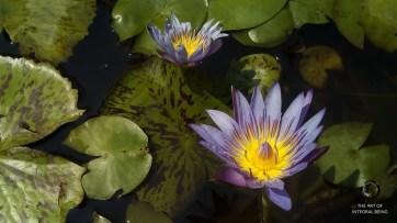 Lotus (Purple Green)