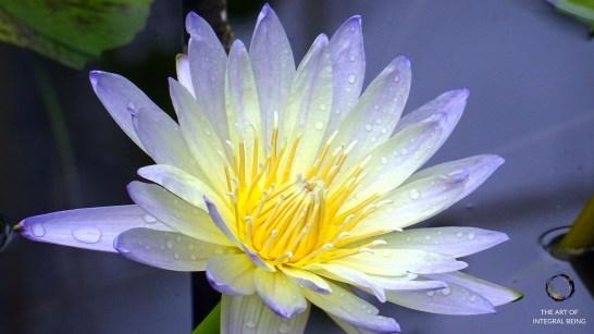 Lotus (Purple White Close Up)