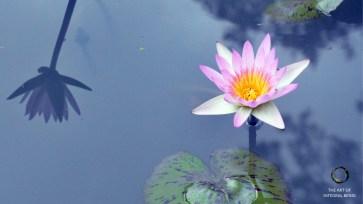 Lotus (White Pink Water)